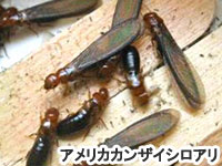アメリカカンザイシロアリ~シロアリ,白蟻,ウッドデッキ,ウッドデッキ材料,通販,diy,ホームセンター,安い価格